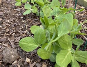 Spring brings new life to sophomore Ava Belchez's garden.