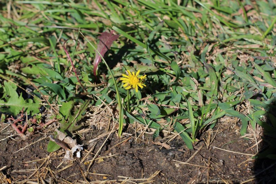 Dandelions and other signs of greenery show signs of good weather.